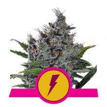 Royal Queen Seeds North Tunderfuck semi di cannabis femminizzati (confezione 5 semi)