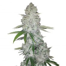 Fast Buds - Gorilla Glue Automatic (3seeds/pack)