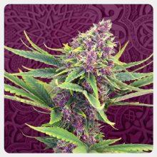 Kannabia - Purple Kush (confezione 5 semi)